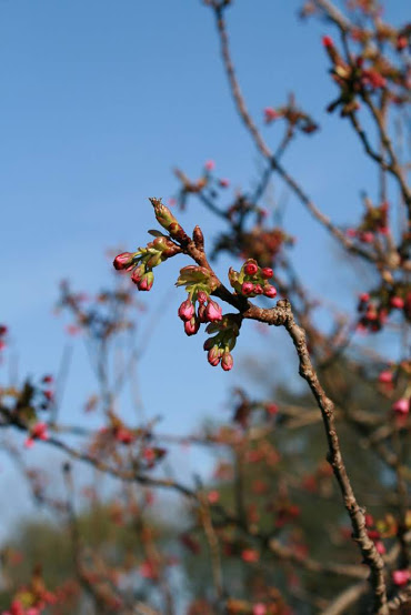 Photo of first spring buds; emphasis on growth